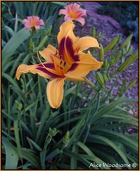 Yellow Orange Daylily
