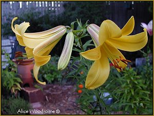 Golden Sceptre Trumpet Lily