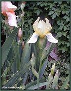 Cream colored iris