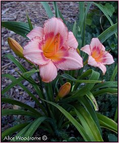 Pink daylily with a dark eye