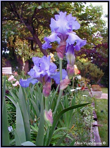 Ruffled Purple Irises