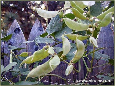 hyacinth seed pods