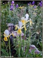 yellow Dutch iris