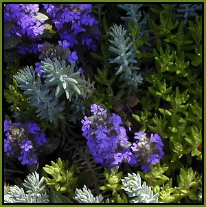 ajuga and sedum