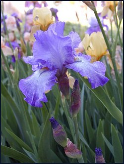 Blue-Purple Bearded Iris