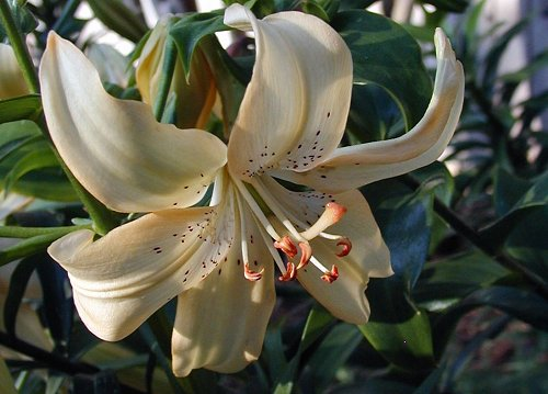 Cream Asiatic Lilies