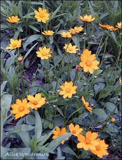 early coreopsis
