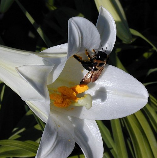 Easter Lily and Bee