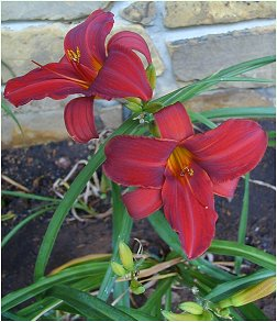 a daylily named Oriental