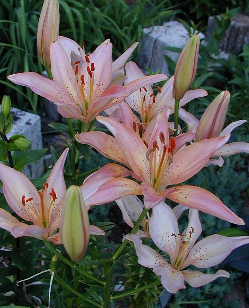 Prima Donna Asiatic Lily