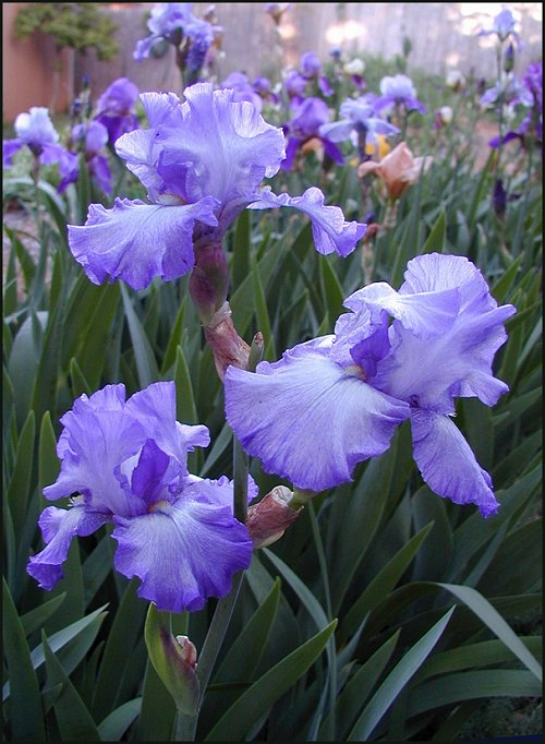Purple Ruffled Bearded Irises