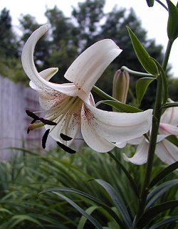 White Lace Asiatic Lily