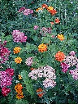 Yarrow and Lantana