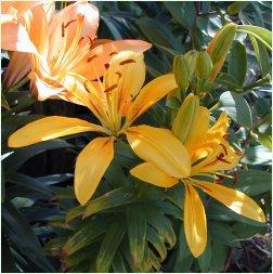 Yellow Asiatic
