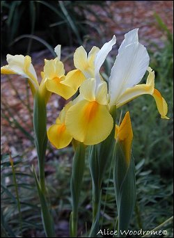 Yellow Dutch Iris
