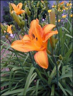 Yellow-Orange Daylilies