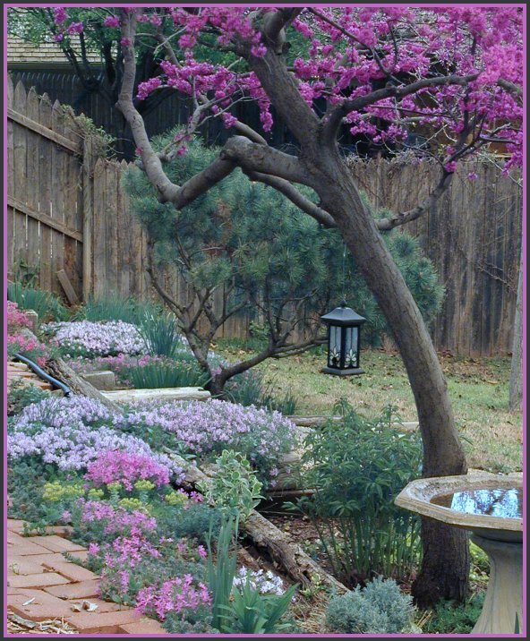 Red Bud Tree and Creeping Phlox