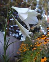 Formosa Lily