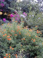 Lantana and Crepe Myrtle