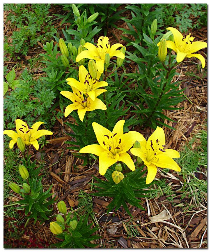 Types Of Lilies In Florida: Garden 2005