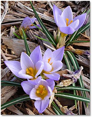 Light Purple Crocus -- mid-February