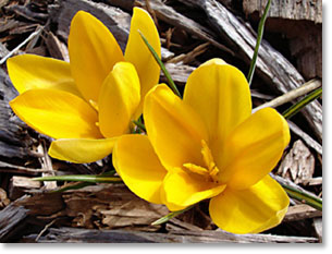 Yellow crocus bloomedthe 20th of February