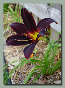 Click here for Deep Red Daylilies