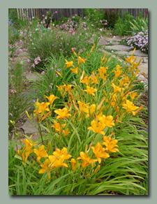 Gold daylilies