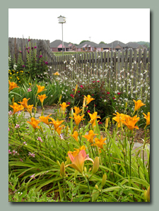 Antique Gold Daylilies
