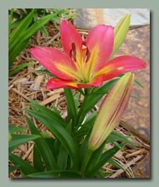 La Camolot Asiatic Lily