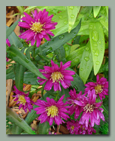 I don't know why the asters are blooming now