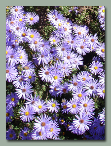 Asters in late October