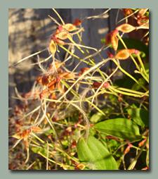 Sweet Autumn Clematis Pods