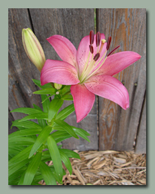 Chris's Pink Lily