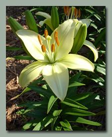 Creamy White Asiatic Lily
