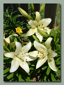 Vanilla Ice Asiatic Lily