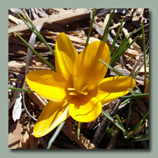 Giant Crocus 'Golden Yellow'