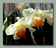 A charming pastel daffodil