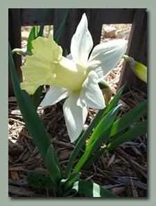 Pastel Daffodil