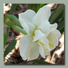 Little Double Daffodil