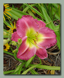 Click here for Reddish Daylilies