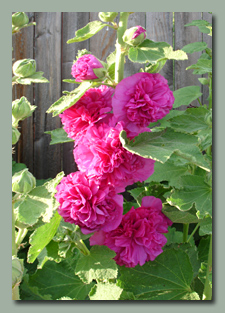 Double Pink Hollyhocks