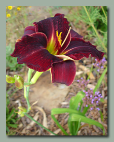 Click here for Daylilies that bloom late