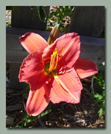 Fires of Fugi, a new daylily