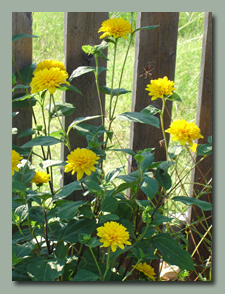 Helianthus-x-multiflorus-Flore-Pleno (double sunflower)