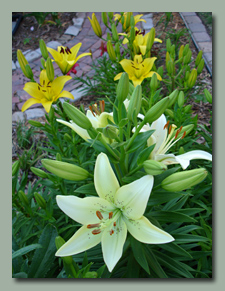 Lilies by Front Walk