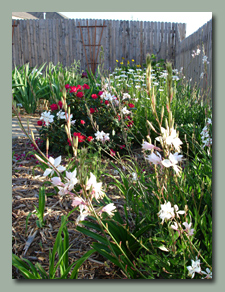 Gaura and More