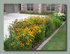 Gloriosa Daisy Mass Planting