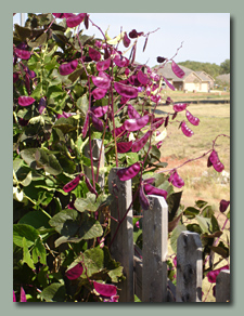 The fuchsia pods are nearly as pretty as the flowers on the hyacinth bean vine