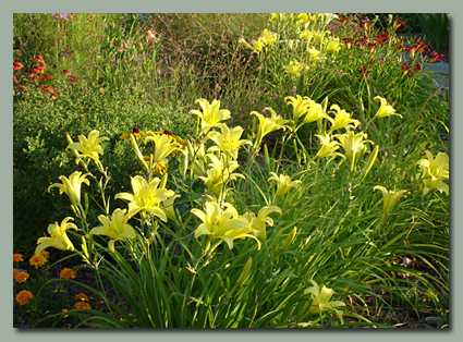 Hyperion Daylilies